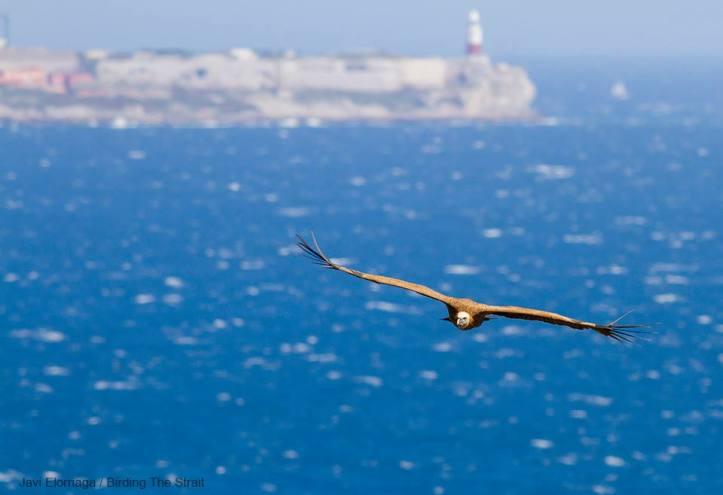 Griffon Vulture Foto Javi Elorriaga (Birding The Strait)