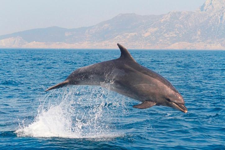 Salto de un delfín en el estrecho de Gibraltar