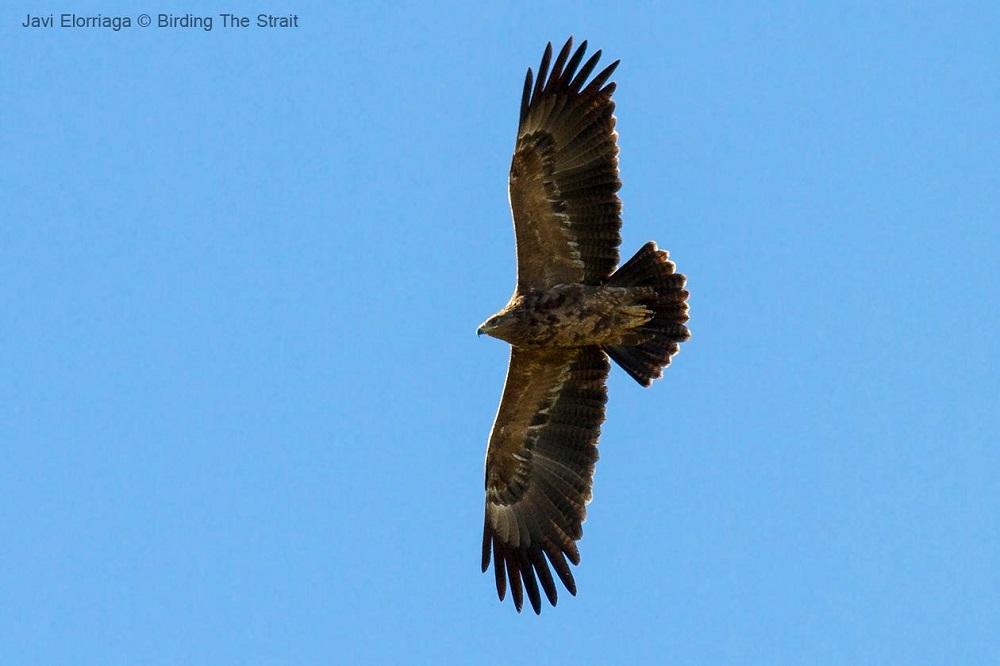 Spotted eagels Foto Javi Elorriaga - Birding The Strait